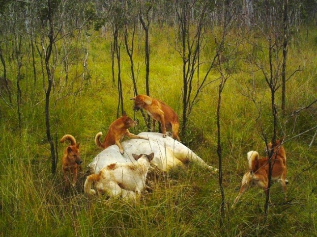 dingo breed on culls megafauna massacres