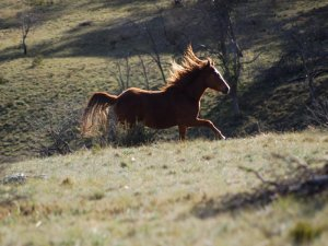 high-country-brumby-2