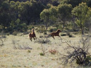 high-country-brumby-3