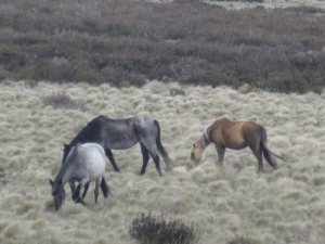 Brumbies of the High Country