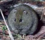 Broad-toothed-Rat